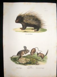 Schinz 1845 Antique Hand Col Print. Hedgehog, Jerboa 38